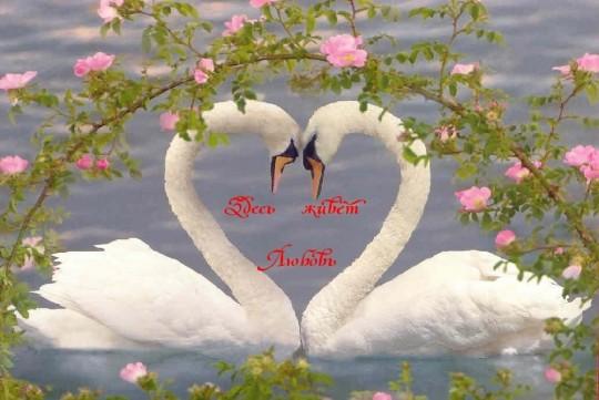 и по весне два белых лебедя